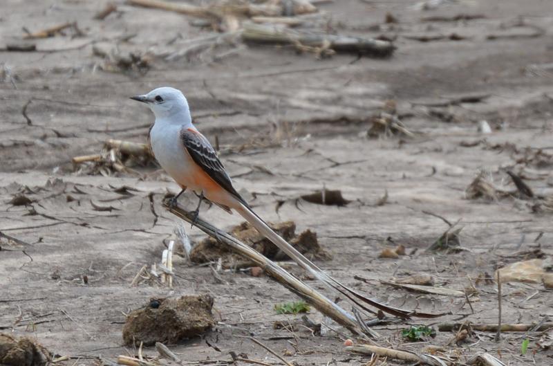 today-very-good-day-scissor-tailed-flycatcher - Copy