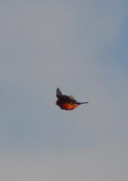 today-very-good-day-vermilion-flycatcher - Copy