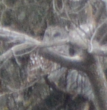 Barred Owl-1-1-2016