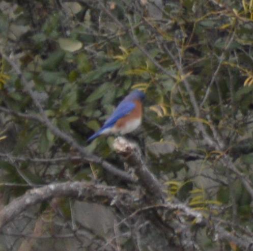 Eastern Bluebird-1-1-2016