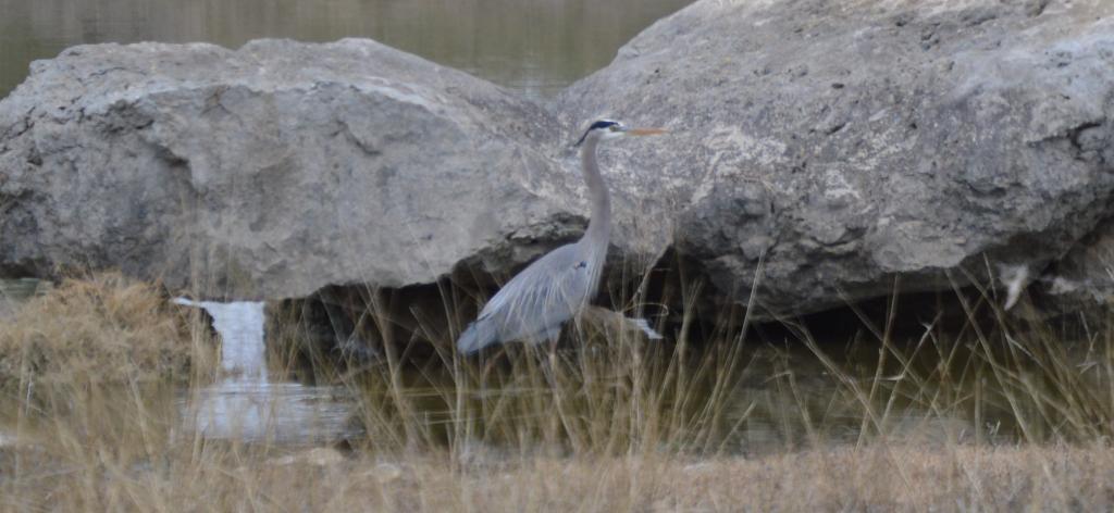 Great Blue Heron-1-1-2016