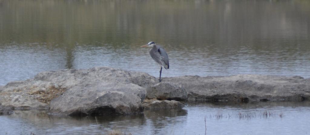 Great Blue Heron-2-1-1-2016