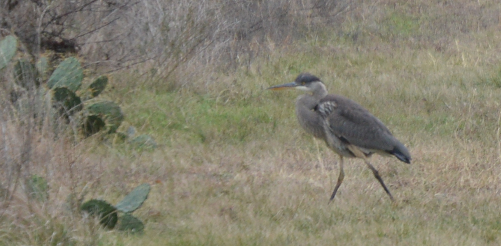 Great Blue Heron-Juvenile-1-1-2016