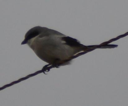 Loggerhead Shrike-1-1-2016